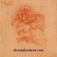 Leonardo da Vinci Berries Drawing