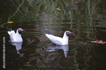 Black Headed Gulls on Water