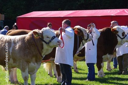 Cows being judged argricultural show scotland