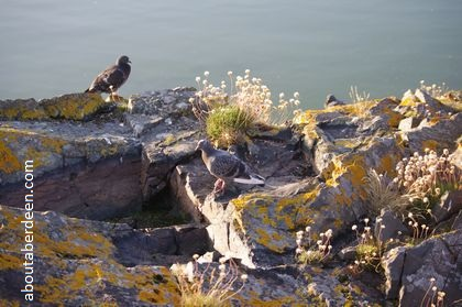 Pigeons on a rock