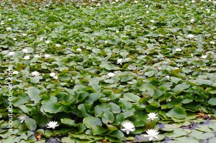 Pond covered in water lilies