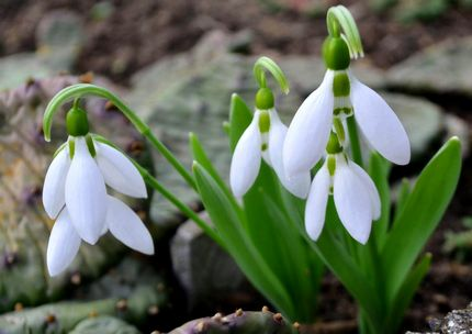 Scottish Snowdrop Festival Aberdeen
