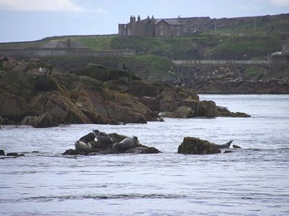 Seals on rocks boddam aberdeenshire sea
