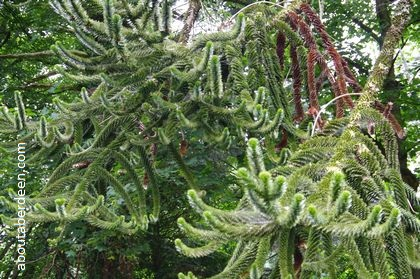 branches monkey puzzle tree