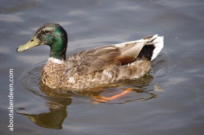 duck with green head