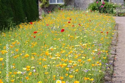 flower bed with poppies