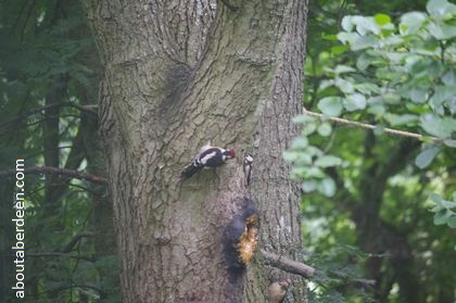 lesser spotted woodpeckers on tree