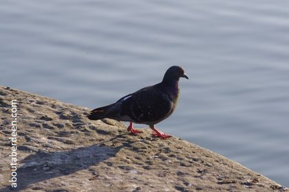 pigeon on harbour wall looking at sea