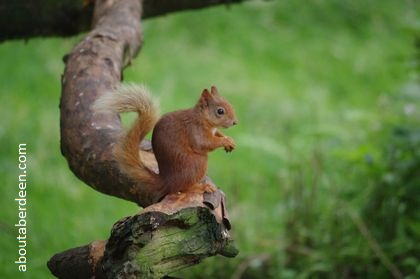 red squirrel sitting on tree branch