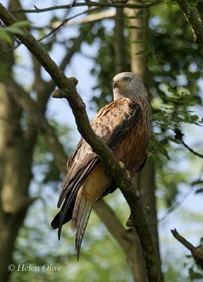 Red Kite Aberdeen