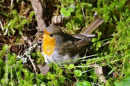 robin sitting in bracken