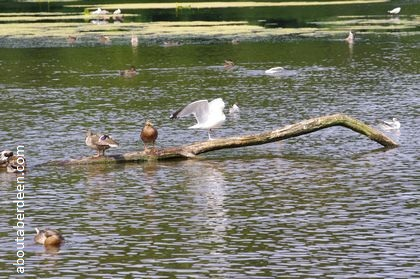 seagull and ducks resting on a branch in pond