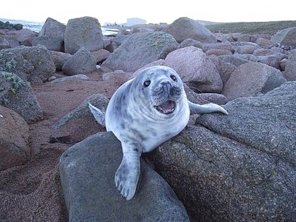 seal pup on rocks