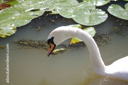 swan looking into water