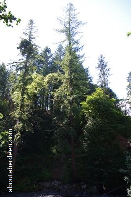 tallest douglas fir tree