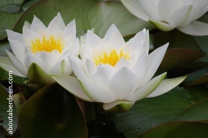 yellow white water lily